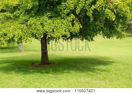 ginko biloba foliage tree