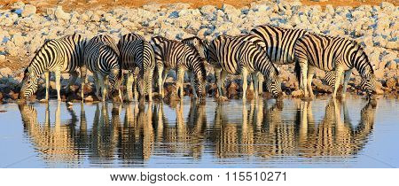 A line of zebras with their heads down drinking