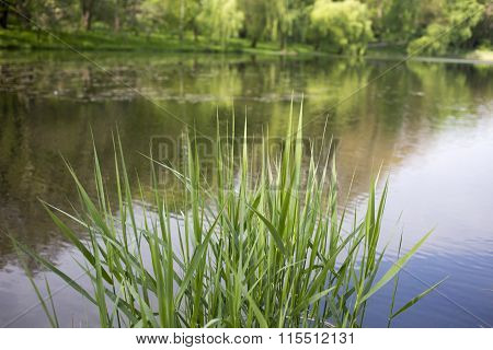Young shoots of bulrush.