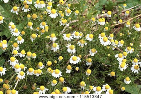 Matricaria Chamomilla - Chamomile