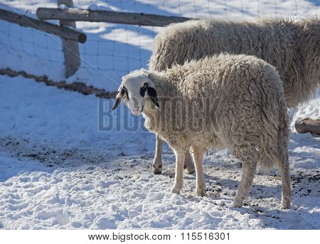 Woolly Sheep In A Pen, Winter Season