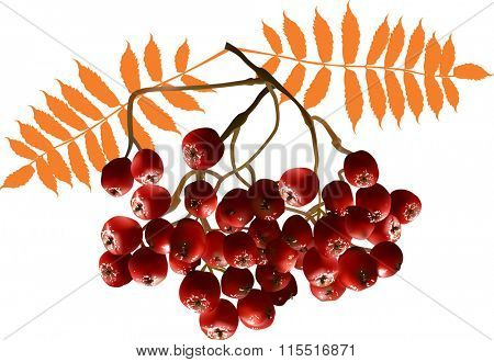 illustration with red ashberries isolated on white background