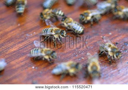 Moving Bees On Wooden Board Of Beehive Macro Close Up