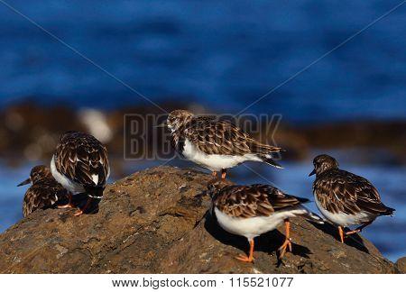 Group of turnstone birds