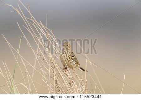Meadow pipit perched in some dry grass