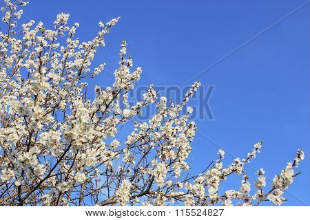 Flowering Apricot Branches.
