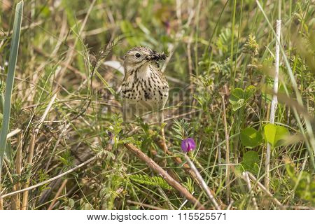 Meadow pipit with bugs in its beak