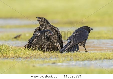 Crow Corvus on frosty ground in the Winter time