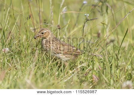 Meadow pipit on the grass with bugs in its beak