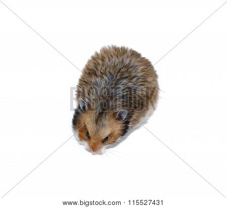 Brown Syrian Hamster Isolated