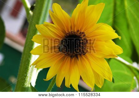 Decorative sunflower with  bee  collecting pollen