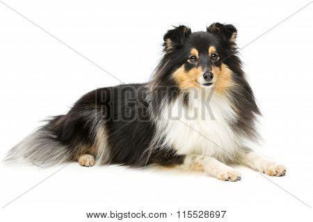 Tricolor sheltie dog