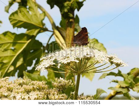 Butterfly Sitting On A Flower Of Cow-parsnip.