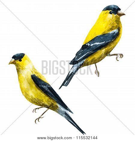 Watercolor raster american siskin bird