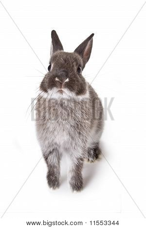 Gray Little Rabbit