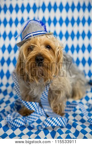 funny yorkshire terrier, with a blue white background, oktoberfest