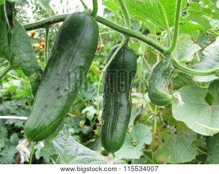 Detail Photo Of Growing Gherkin Cucumber