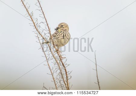 Meadow pipit perched on a twig