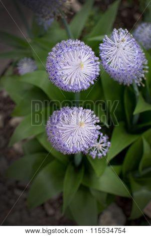 Purple Flowers Scilla Peruviana