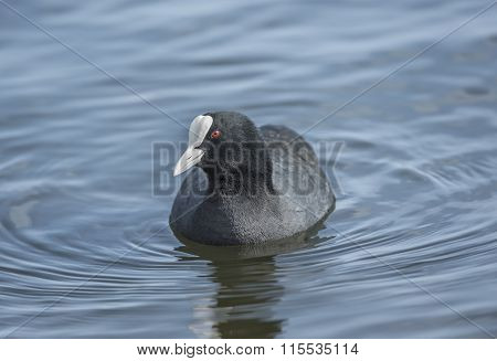 A Coot Fulica swimming on a loch