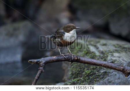 Dipper on a branch above a river