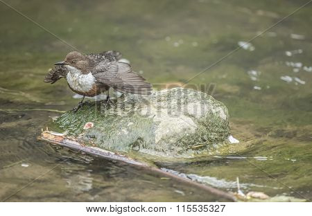 Dipper perched on a rock in a stream with open wings
