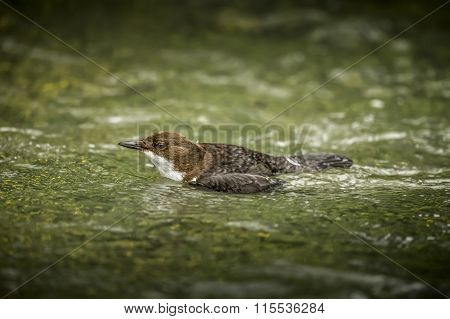 Dipper, Cinclus  cinclus, swimming in a river