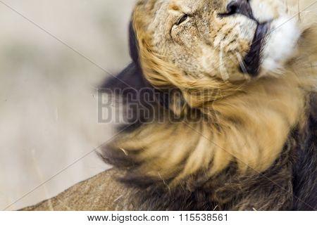 Lion shaking its mane In Kruger National Park