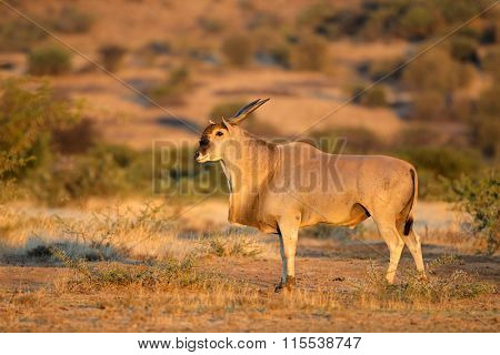 Large male eland antelope (Tragelaphus oryx) in natural habitat, South Africa