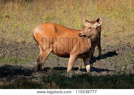 Female sambar deer (Rusa unicolor), Kanha National Park, India