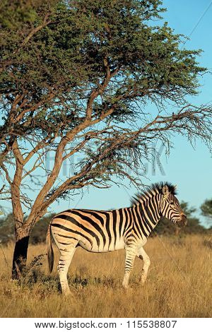 A plains (Burchells) zebra (Equus burchelli) in natural habitat, South Africa