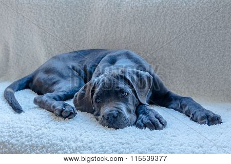 Sweet Adorable Cane Corso Dog