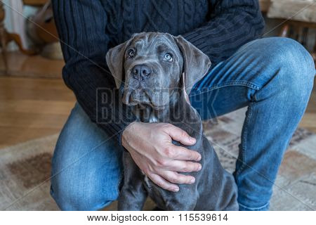 Cane Corso Puppy In Human Hands