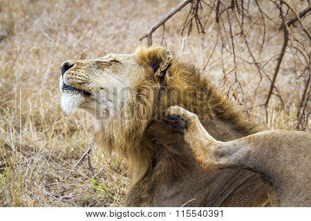 Lion scratching its mane In Kruger National Park