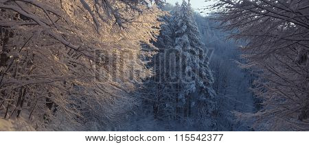 Trees Covered With Heavy Snow, Severe Winter