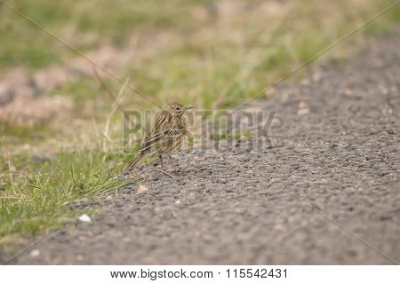 Meadow pipit, Anthus pratensis, on the path