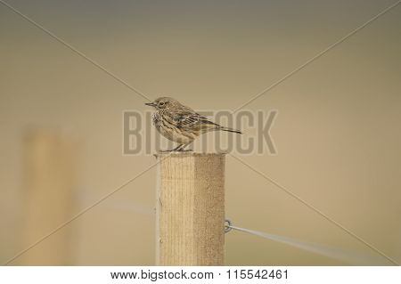 Meadow pipit perched on a fence post