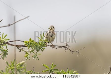 Meadow pipit perched on a branch with bugs in its beak