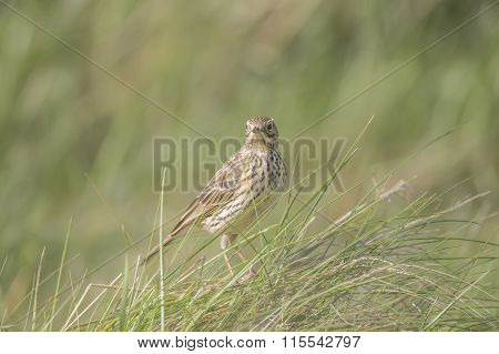 Meadow pipit , Anthus pratensis, perched in the grass