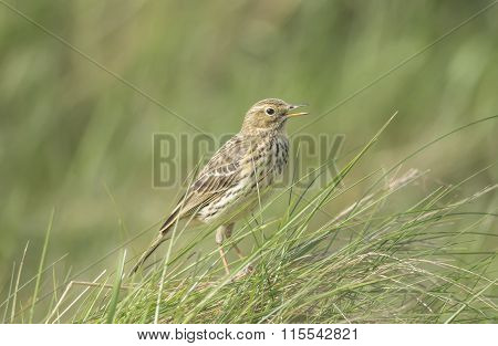 Meadow pipit perched in the grass tweeting