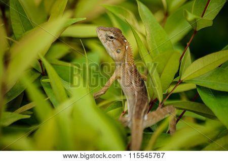 Oriental Garden Lizard In Thailand
