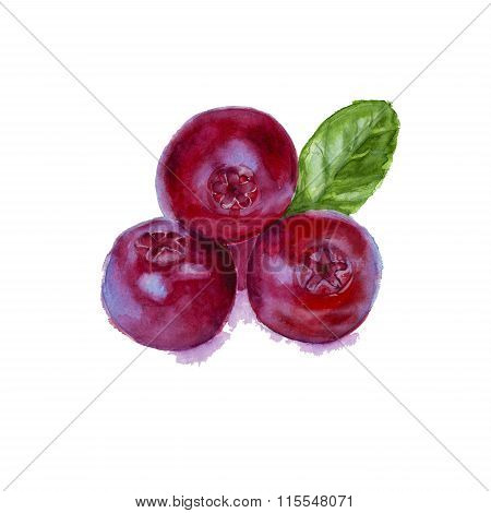 three red isolated cowberry. Watercolor