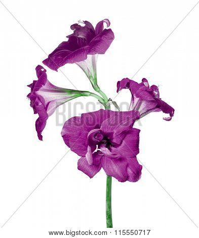 four lilac amaryllis flowers isolated on white background