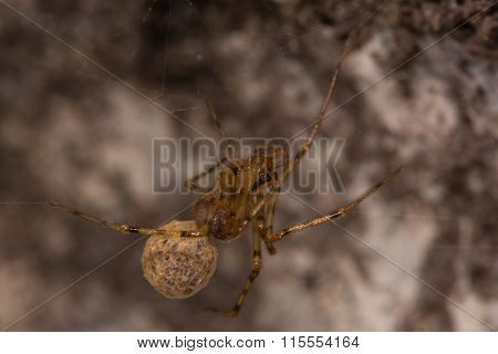 Nesticus cellulanus spider with egg sac