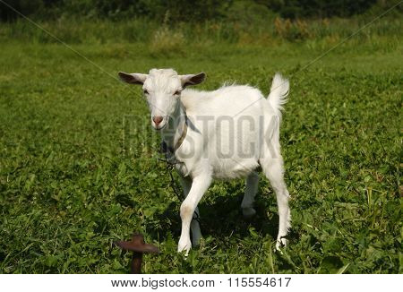 White Goat Grazing On Green Grass In The Field