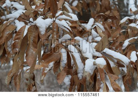 snow covered leaves that never fell from the tree