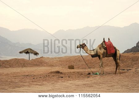 Blurred Background. Lone Camel In The Desert Of Egypt