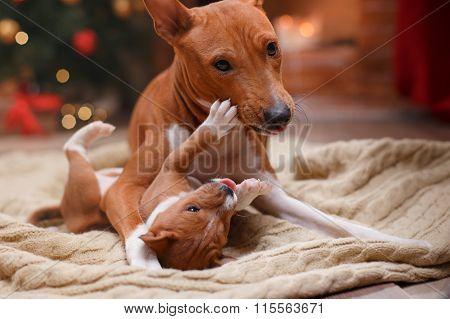 Dog Breed Basenji And Her Puppy Breed Basenji, Christmas And New Year, Studio Background