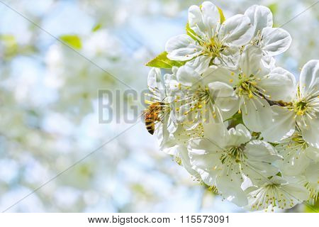 Bee On Cherry-tree Blossom, Close Up