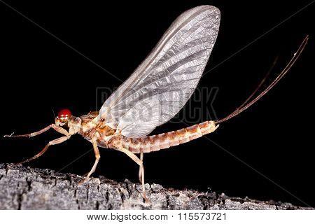 Male mayfly dun on a twig